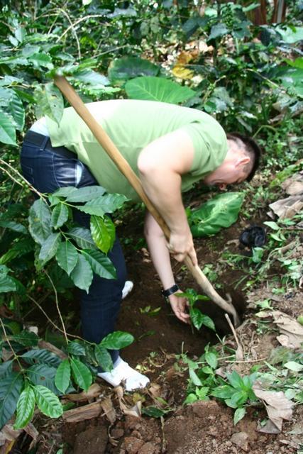 kávécserje ültetés