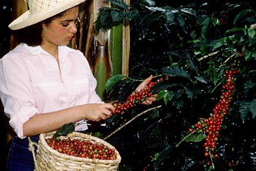 kolumbiai kávétermesztés