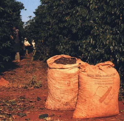 kávétermelés brazília kávés zsákok