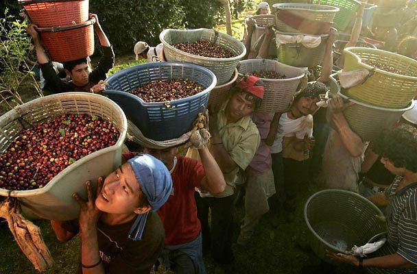 costa rica kávészüret