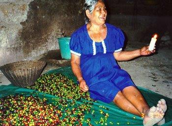 kávészüret mexico chiapas