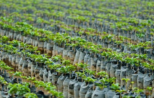 Guatemalai kávépalánták