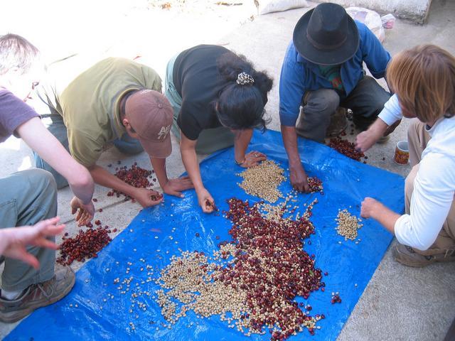 guatemala kávéválogatás