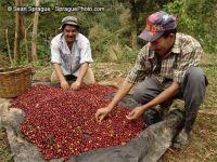 kávétermelés india száraz