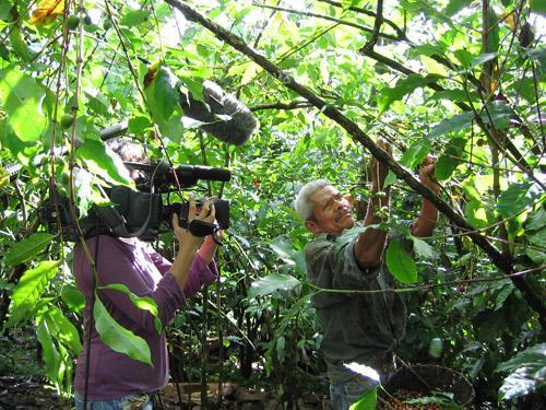 mexikói kávészüret egy chiapas ültetvényen