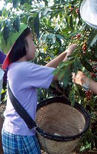 hawaii kona kávészüret